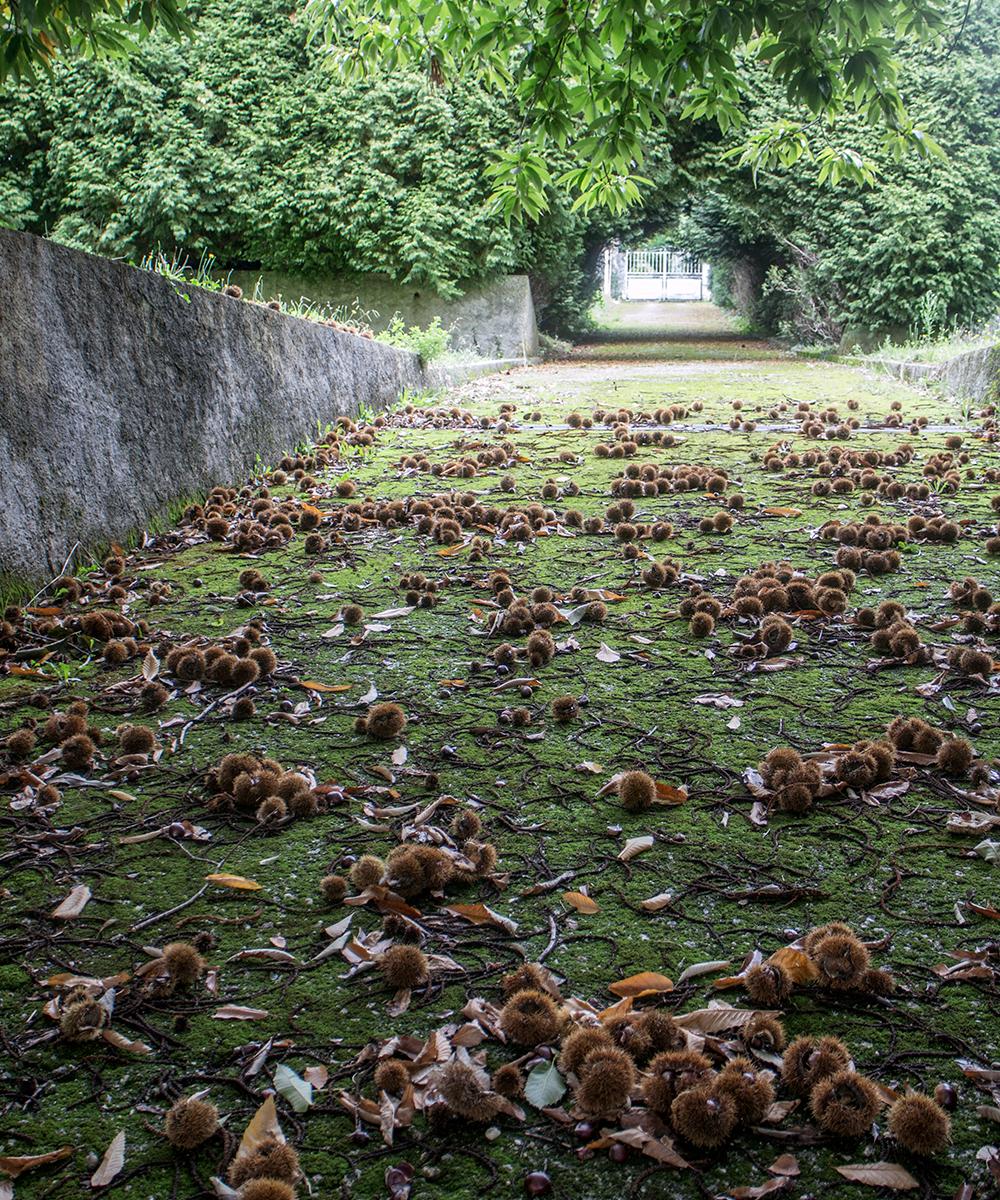 Kastanietræer på Camino Ínglés