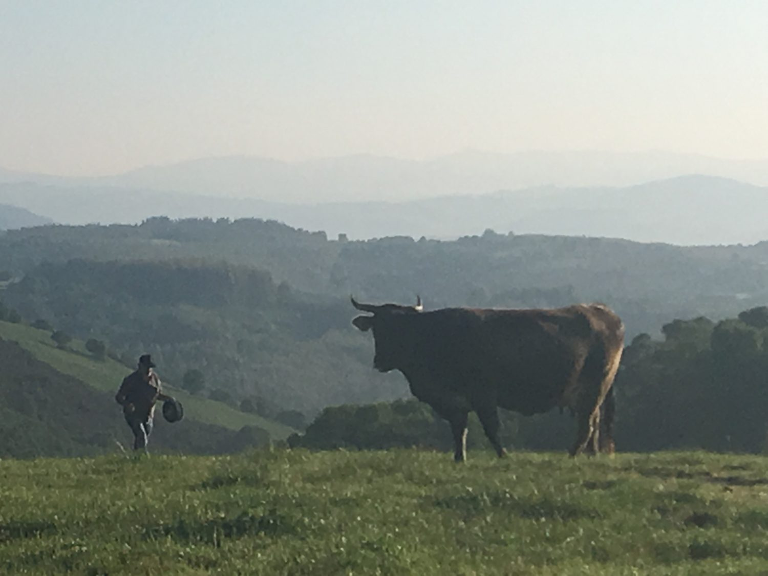 Cow in the morning mist on Camino Primitivo